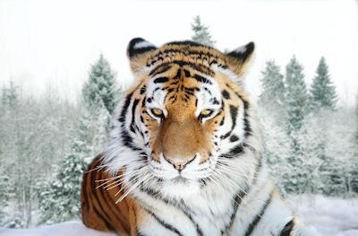 Tigre de Amur o Tigre Siberiano (Grandes Felinos)