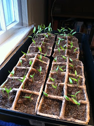 2011 Pepper Seedlings