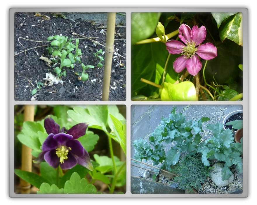 My backyard garden spring summer gardening  poppies Papaver somniferum Centaurea cyanus corn flower clematis