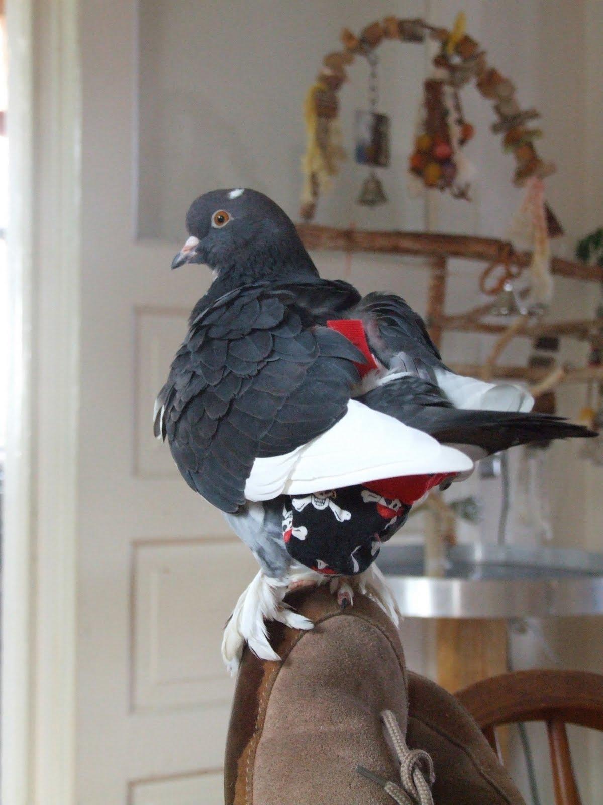 Mis amigas las palomas: Comportamiento de la paloma como mascota