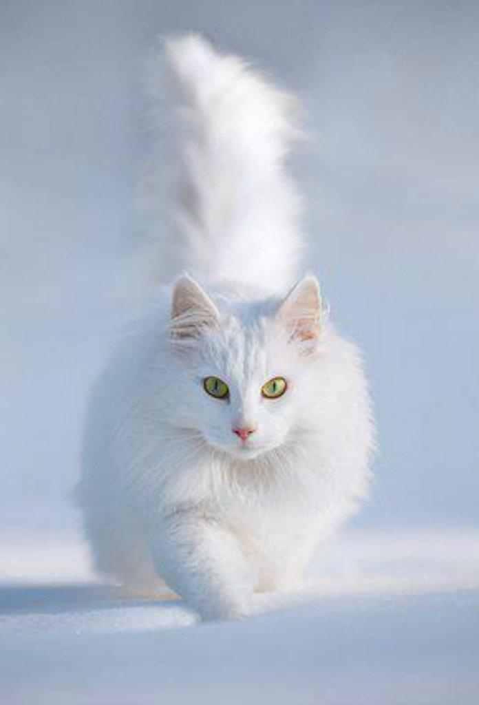Gambar Kucing Anggora godean.web.id