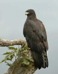 Foto Burung Elang Hitam (Black Eagle)