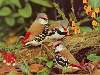 Diamond Firetail New Desktop Wallpaper