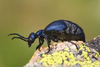 para ampliar Meloe violaceus (Marsham, 1802) Carraleja, escarabajo aceitero hacer clic