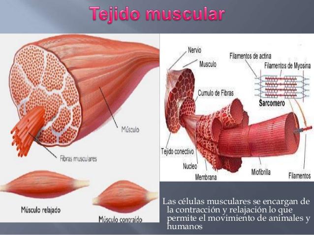 Fisiología Animal: Tejido Muscular