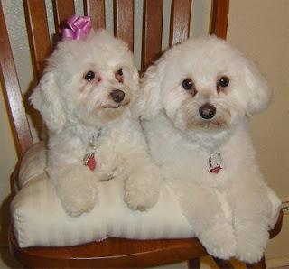 Maltipoo Dogs