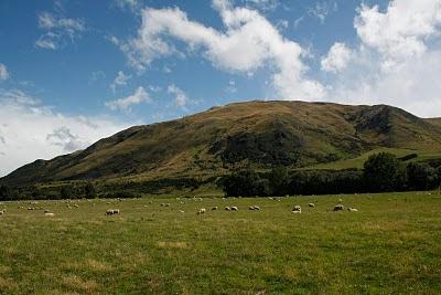 Ovejas en pastos de la isla sur, NZ.