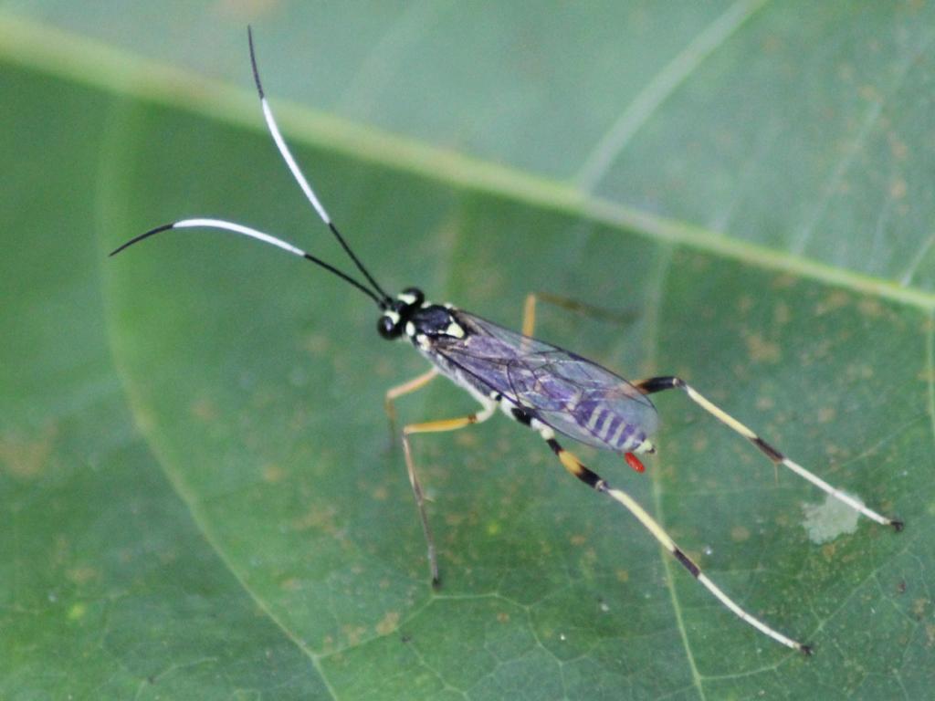 Black and white banded abdomen ichneumon wasp messatoporus sp