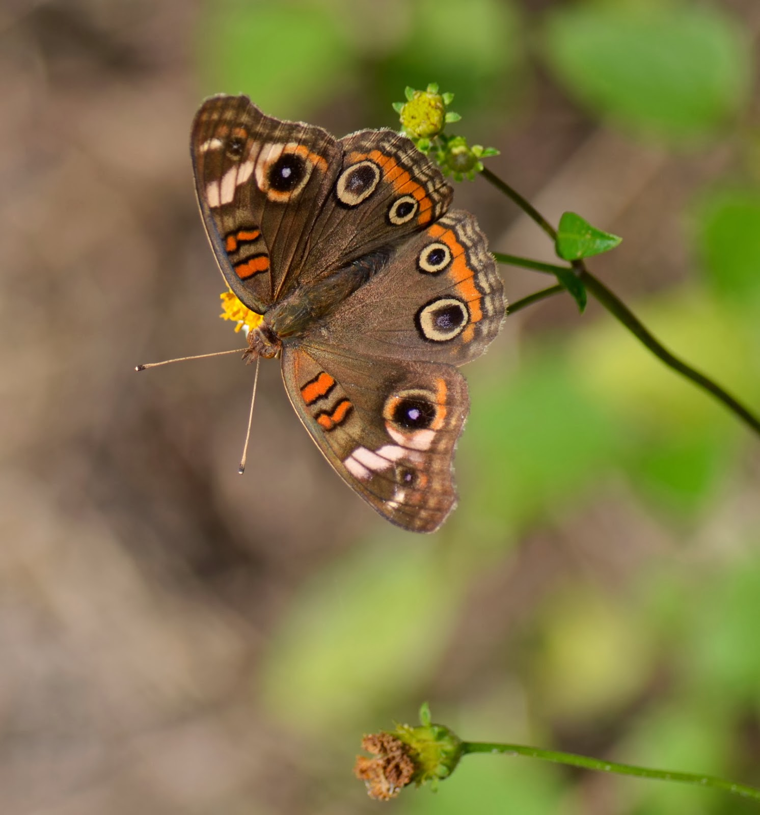 image of Mangrove Buckeye butterfly, Manatee Viewing Center, Apollo Beach, FL
