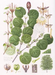 カツラ (植物)の画像 p1_18