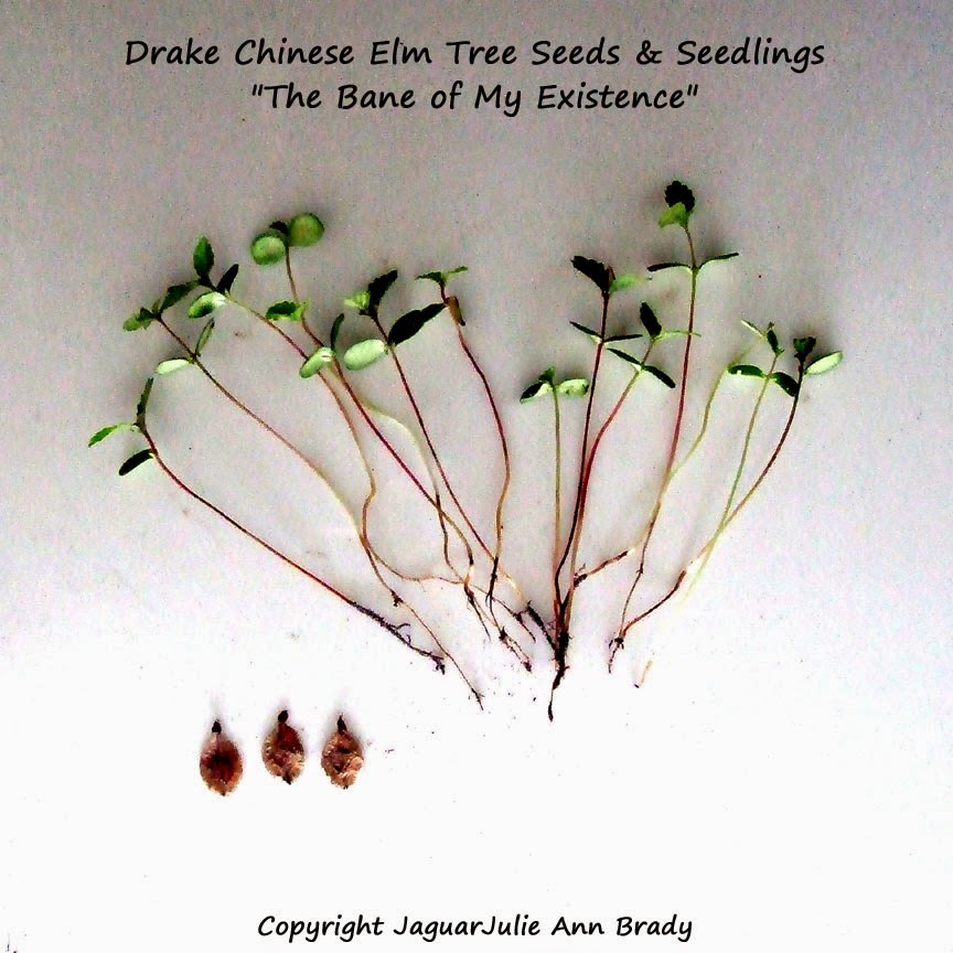 Drake Chinese Elm Tree Seeds and Seedlings