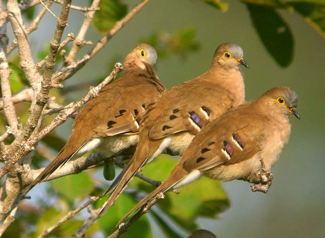 Long tailed ground dove