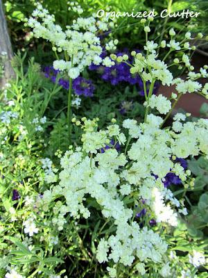 Cottage Garden - Dropwort Filapendula