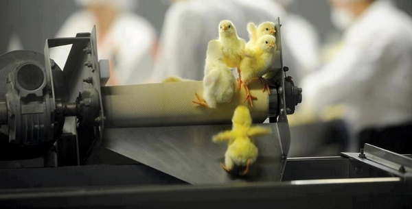 Pollitos machos desechados, antes de caer a la muerte en la trituradora.