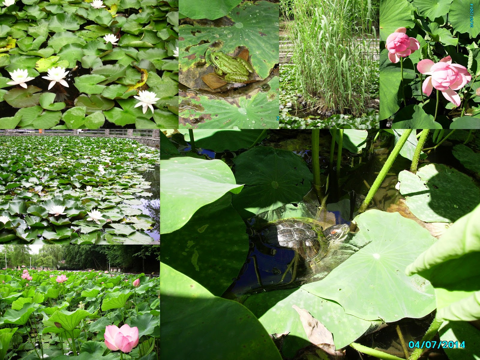 Nymphaea lotus var. thermalis & Flowers of Nelumbo nucifera - the pink lotus in The natural Water Lily Reserve of Băile Felix. Also, some creatures: like frogs and turtles.