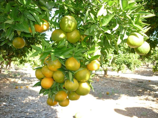 Ventas de plantas en ecuador arbol naranja - Naranjas del arbol a la mesa ...
