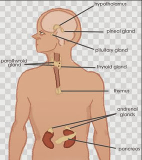 endocrine glands function