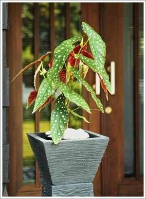 Percantik Teras Rumah dengan Begonia