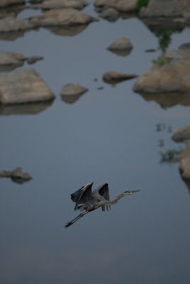 Great Blue Heron in flight over Potomac River