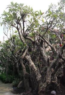 pohon kamboja fosil