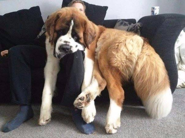 10 Dogs Who Don't Realize That They Are Huge-10 of 10