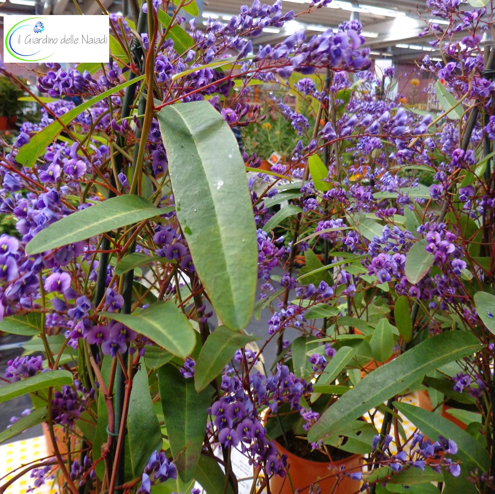 Il giardino delle naiadi handerbergia violacea - Piante per coprire muri ...