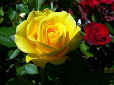 Rosa amarilla y rosa roja en el jardin para el dia del amor