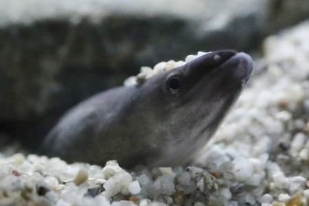 Japanese freshwater eel