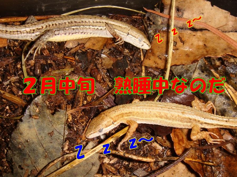 冬眠 カナヘビ ニホンカナヘビの冬眠の仕方について