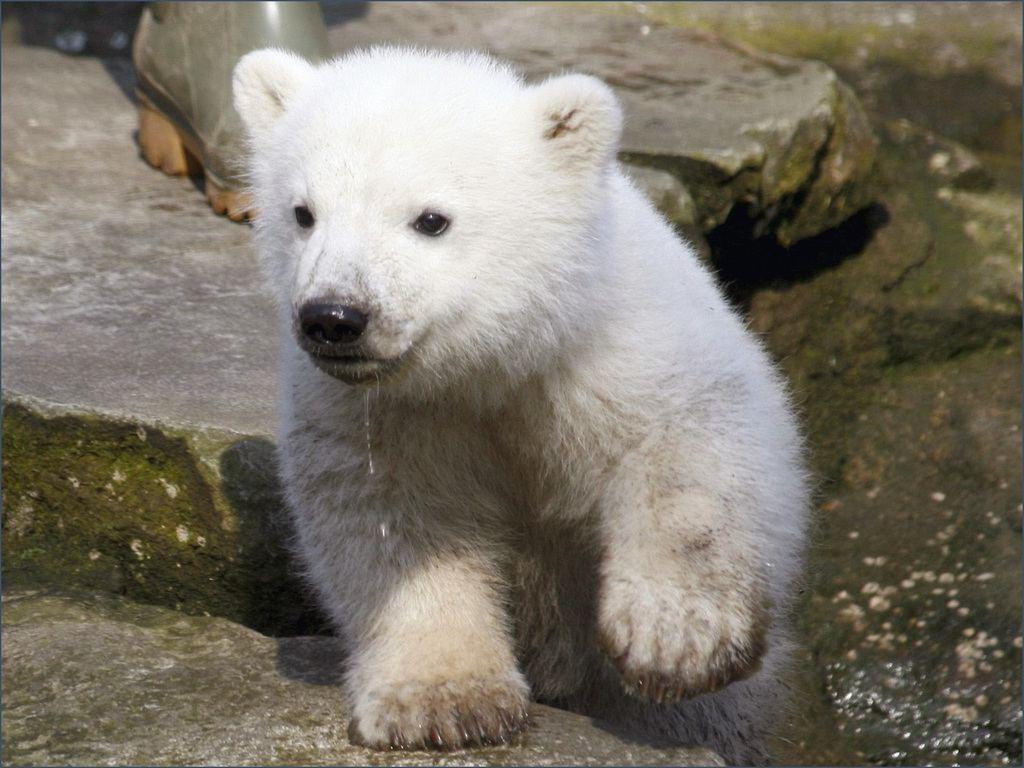 http://4.bp.blogspot.com/-_HIJ2Z8Babw/Tq0iu_3EBvI/AAAAAAAADGk/o_JcKJVoRjQ/s1600/bear_pictures_Polar_Bears_cub_wallpapers_01.jpg