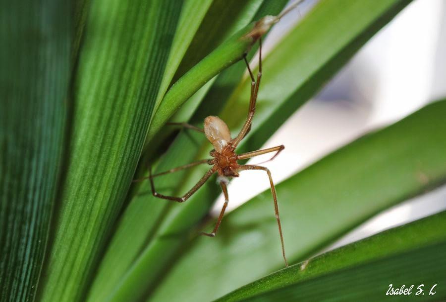 El Cuaderno de Campo: Loxoceles Rufescens, una araña que pica y ...