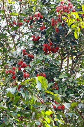 red rambutan in tree