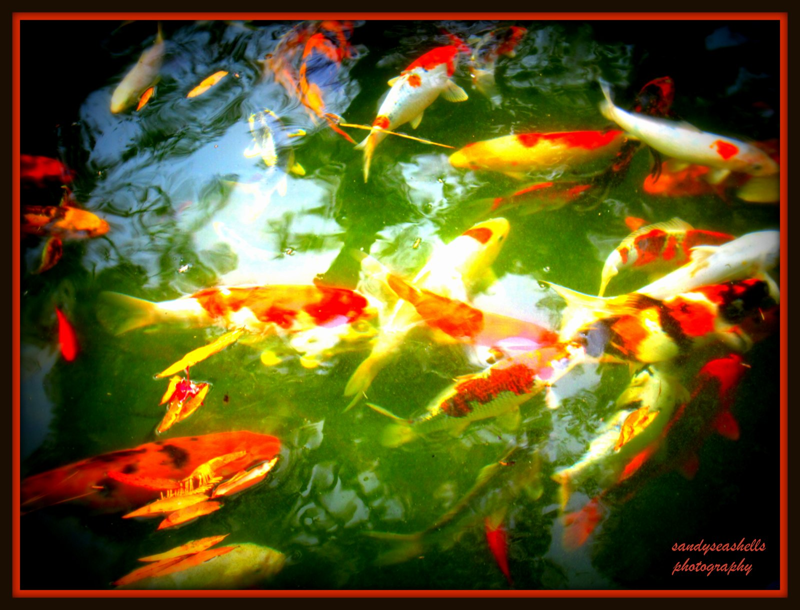 Koi fish color meaning orange for Orange coy fish