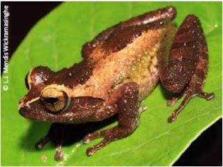 Puran Appu's Shrub Frog, Pseudophilautus puranappu, Puran Appuge panduru madiya, endemic frogs of sri lanka