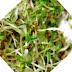 Trend in alimentatie, dieta raw vegan - semintele germinate, ca hrana bio sanatoasa si ieftina