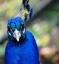 Riikinkukon katse, hyvin hyvin sininen