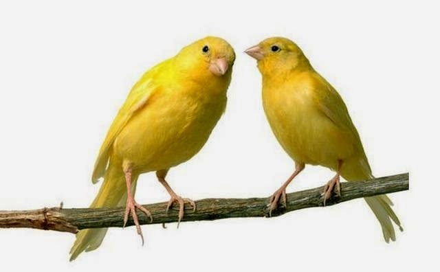 Foto Burung Kenari Jantan