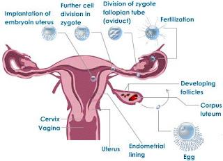 March 2013 have fun learning biology fertilisasi pada manusia ccuart Choice Image
