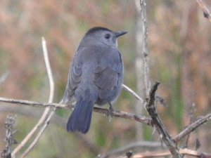 GREY CATBIRD-TREEVE MOOR-TREVESCAN-CORNWALL-16TH OCTOBER 2017
