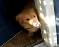 Assista a reação do cachorro ao ver o seu dono chegar do Afeganistão após 2 anos.