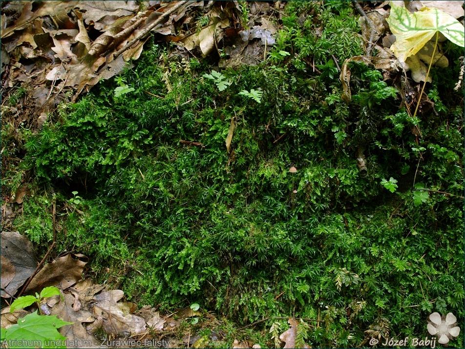 Atrichum undulatum - Żurawiec falisty
