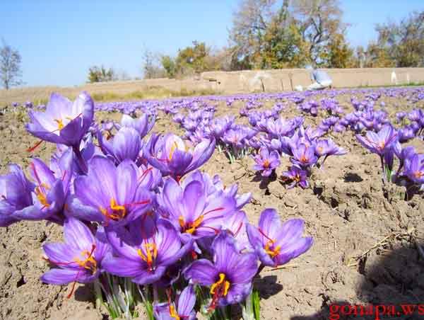 Saffron Farm