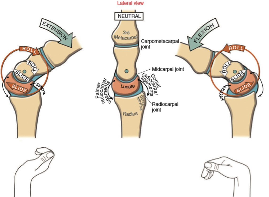Colorful Wrist Movements Anatomy Picture Collection - Human Anatomy ...