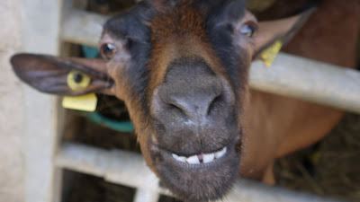 smiling animals, goat, France, holiday