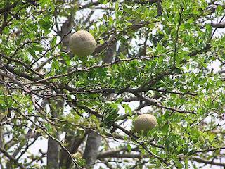 buah kawista batu