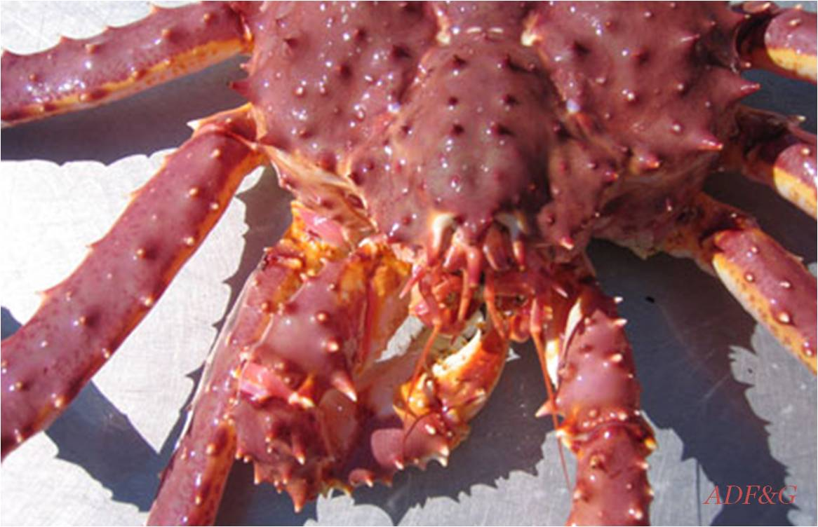 Blue king crab vs red king crab