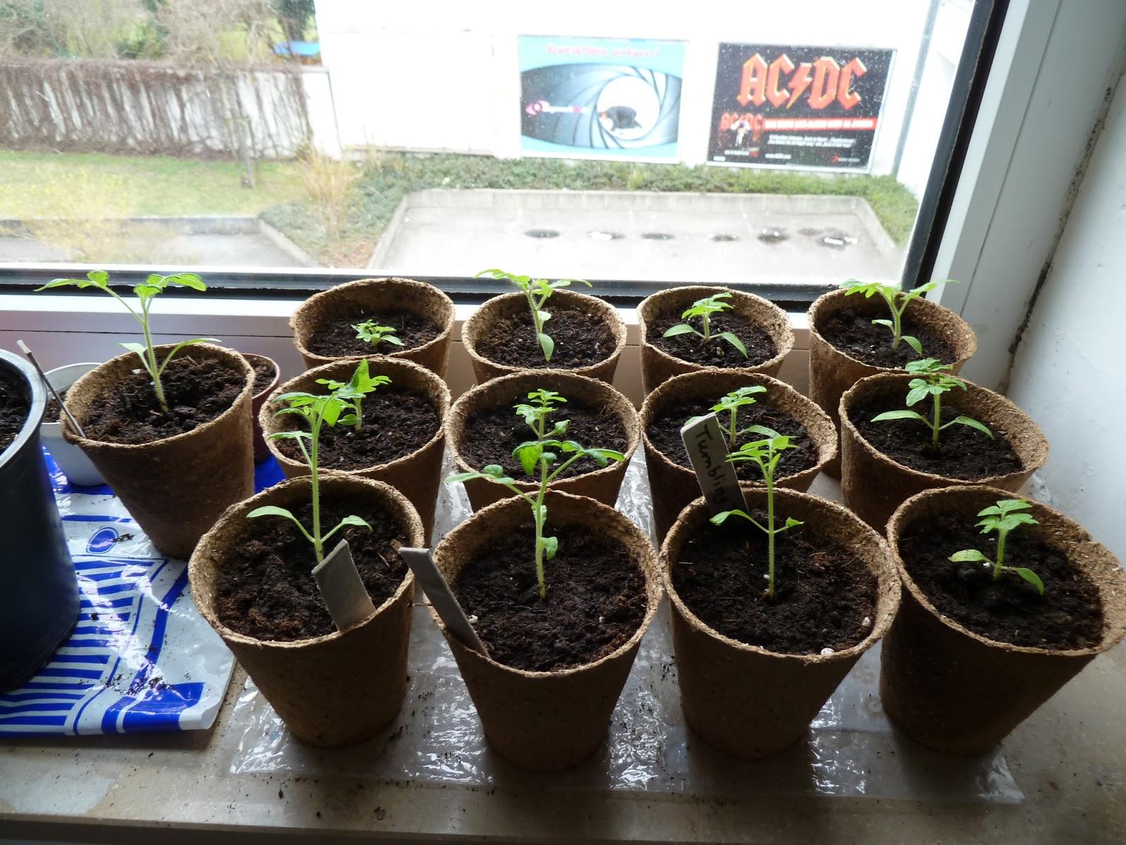 tomaten richtig pflanzen tomaten richtig pflanzen der gro e ratgeber tomaten richtig pflanzen. Black Bedroom Furniture Sets. Home Design Ideas