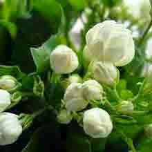 melati sebagai herbal alami