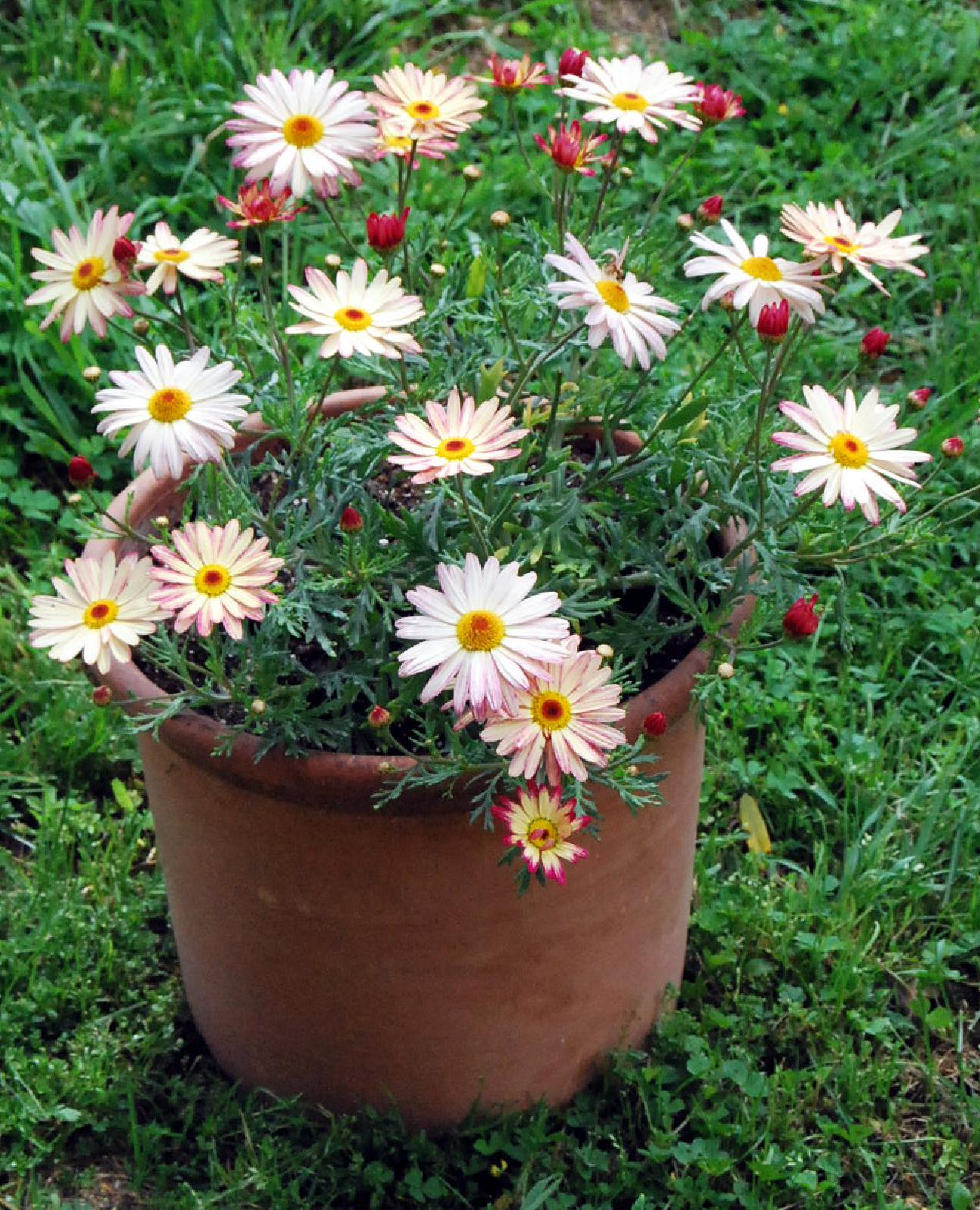 Fotos de flores margaritas de varios colores for Jardines con gravilla de colores