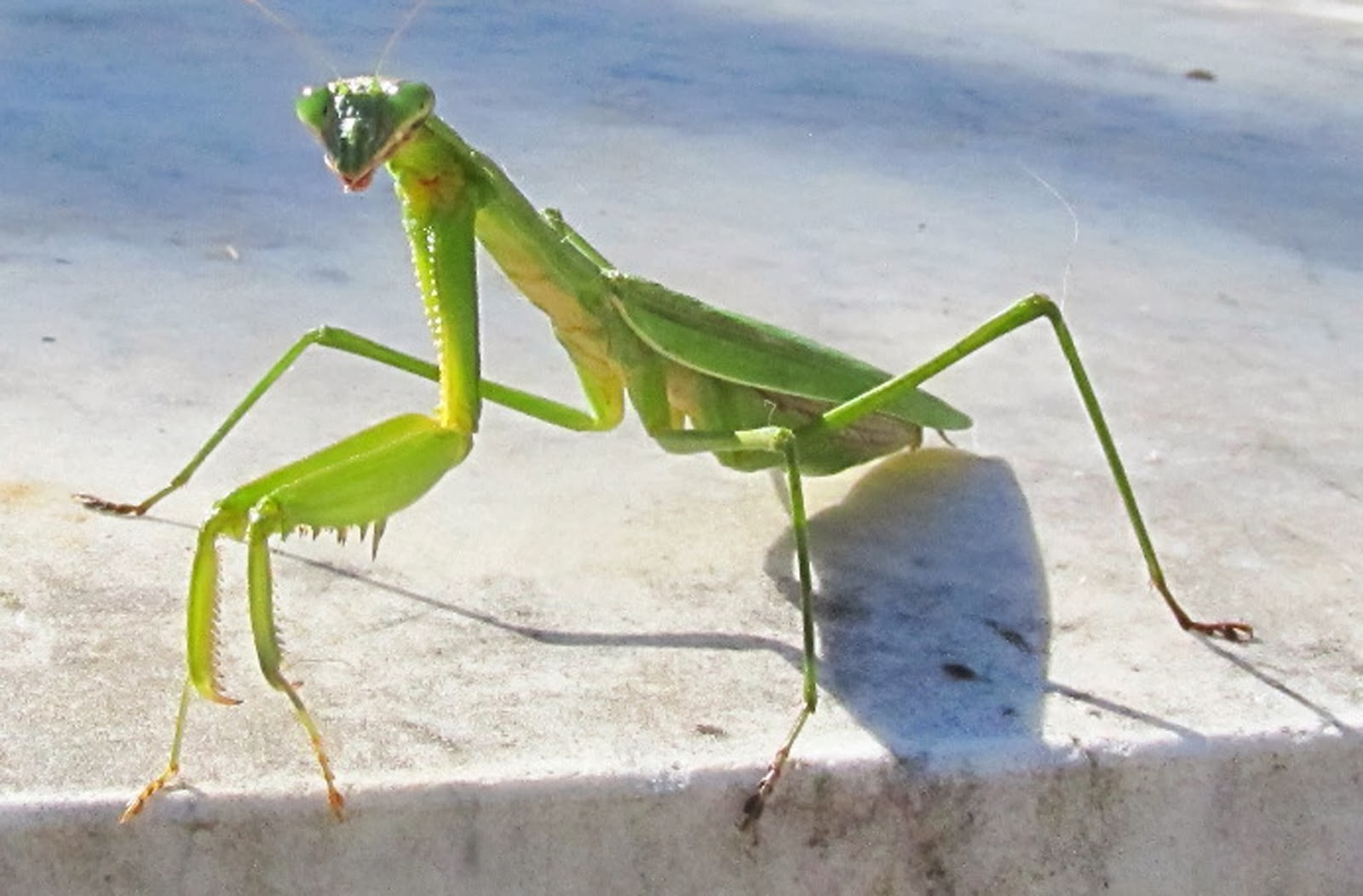 how to get a praying mantis out of the house